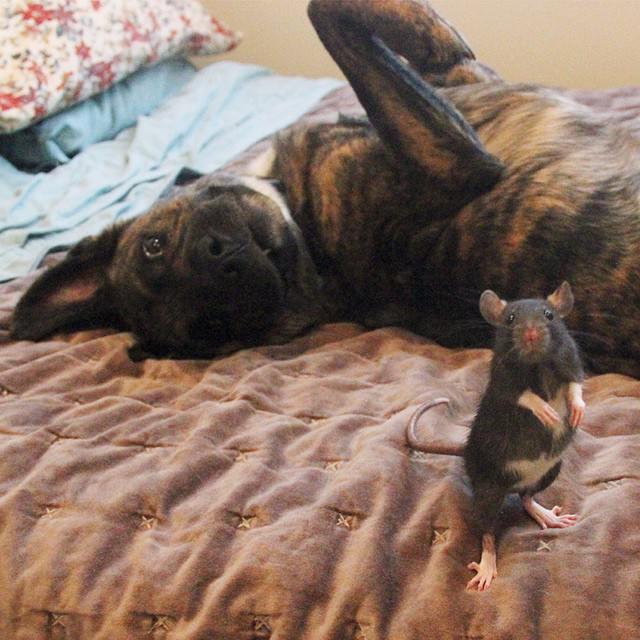 rat & dog