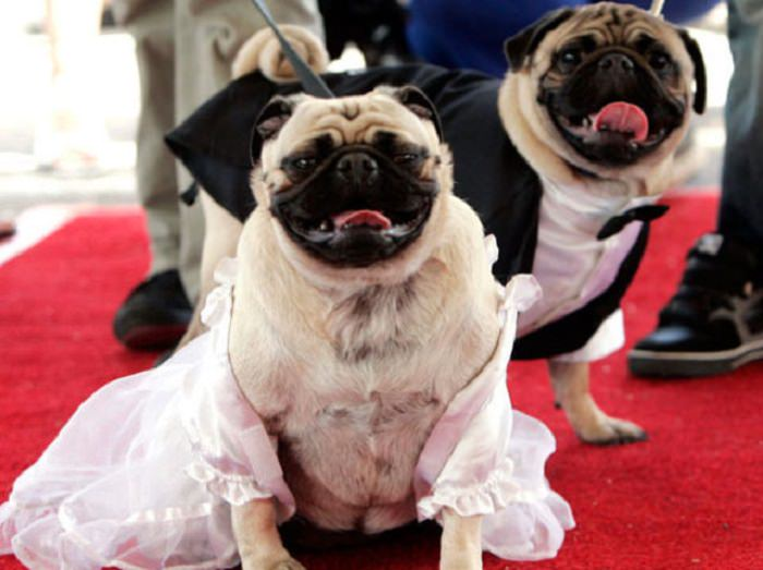 Adorable pets in bridal wear