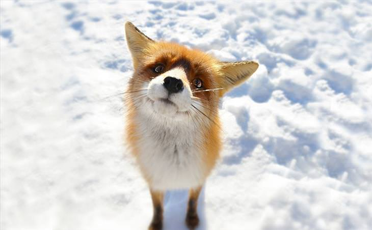 foxes, snow, winter, cute,