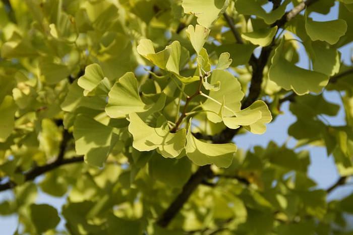 Herbs for memory: Ginko Biloba
