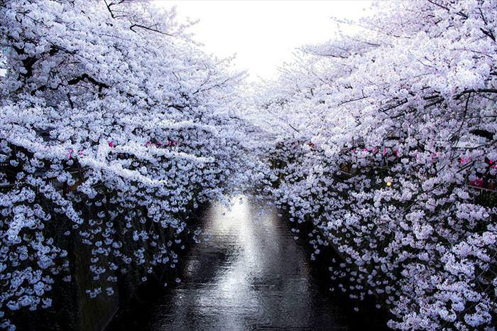 Japan's Cherry Blossoms Are the World's Most Beautiful Spring-Time Flowers