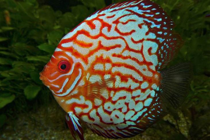 Colorful fish: Symphysodon discus fish