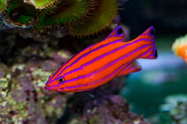 Colorful fish: Candy basslet