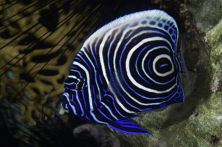 Colorful fish: Juvenile emperor angelfish