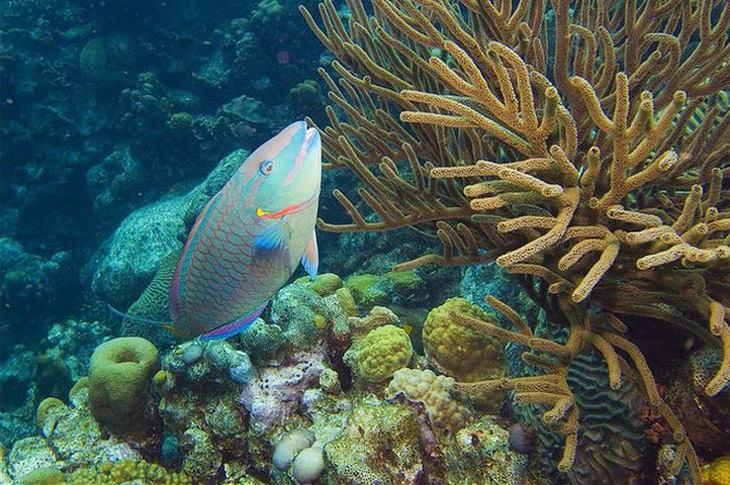 Colorful fish: Parrot fish