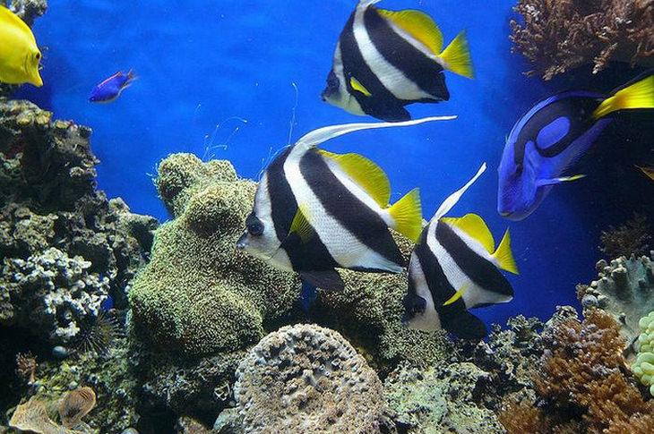 Colorful fish: Moorish idol