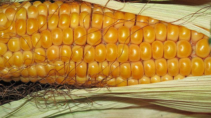 corn preservation