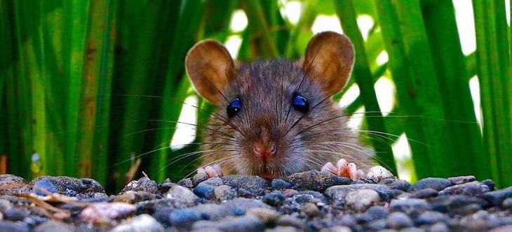 peppermint mice