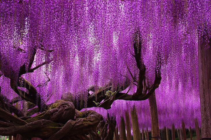 The Beauty Of The Wisteria Tree