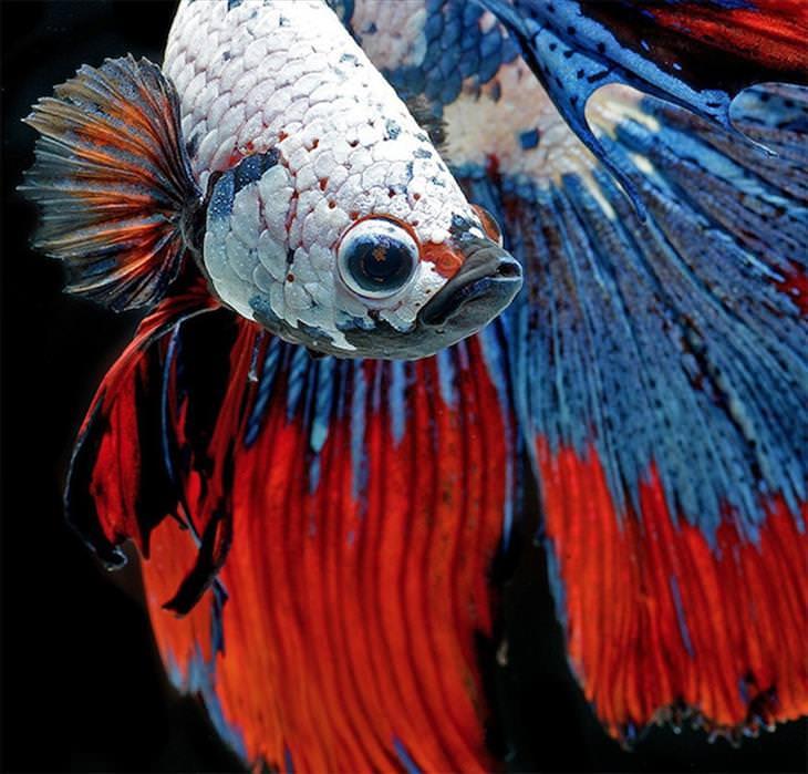 fish, Siamese fighting fish