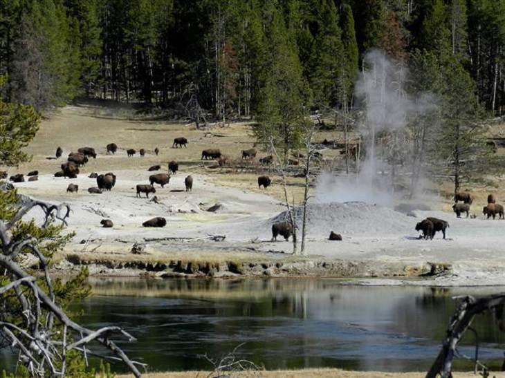 Animals - Yellowstone National Park