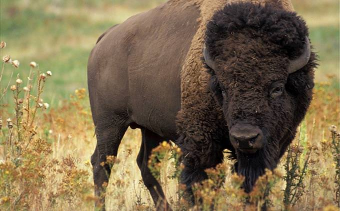 brown bison outdoors