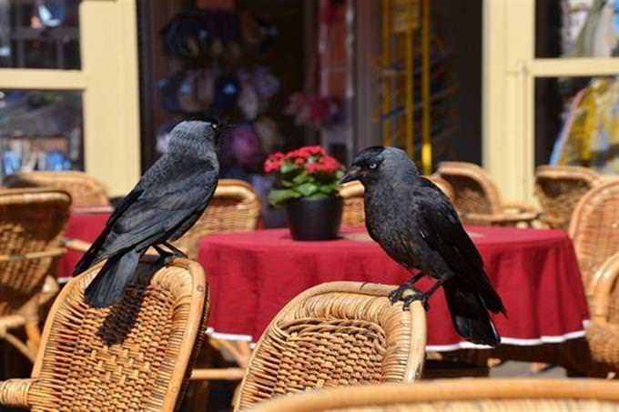 crows perched on wicker chairs