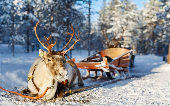 reindeer and sleigh in lapland