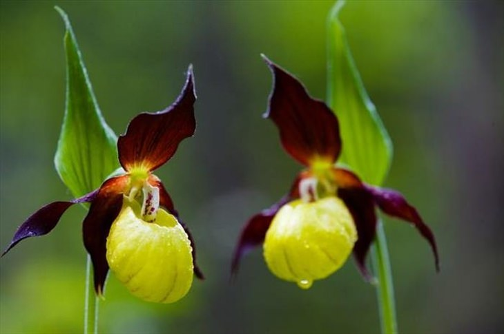 Stunning rare flowers: Yellow & Purple Lady Slippers