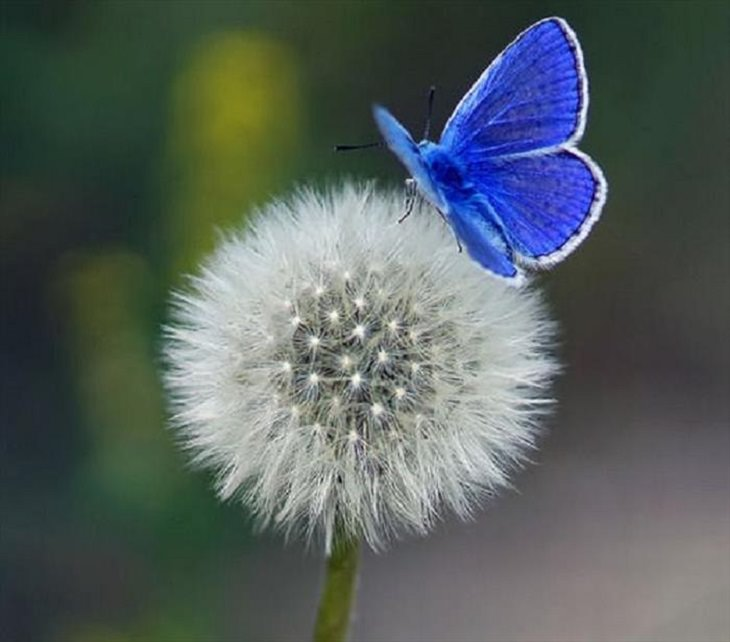 Nature is beautiful when its blue: Mazarine Blue Butterfly