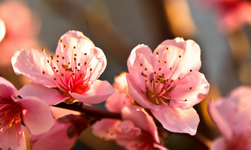15 beautiful fruit tree flowers and blossoms nature