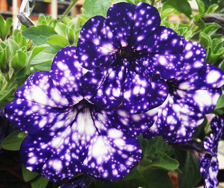 galaxy-flowers