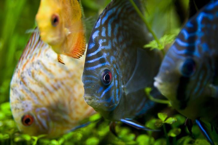 Colorful Fish: Discus