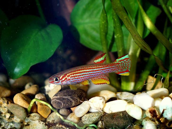 Colorful Fish: Killifish