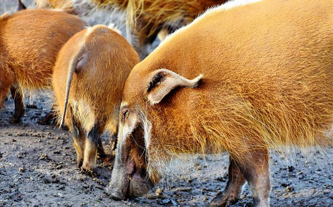 group of boars