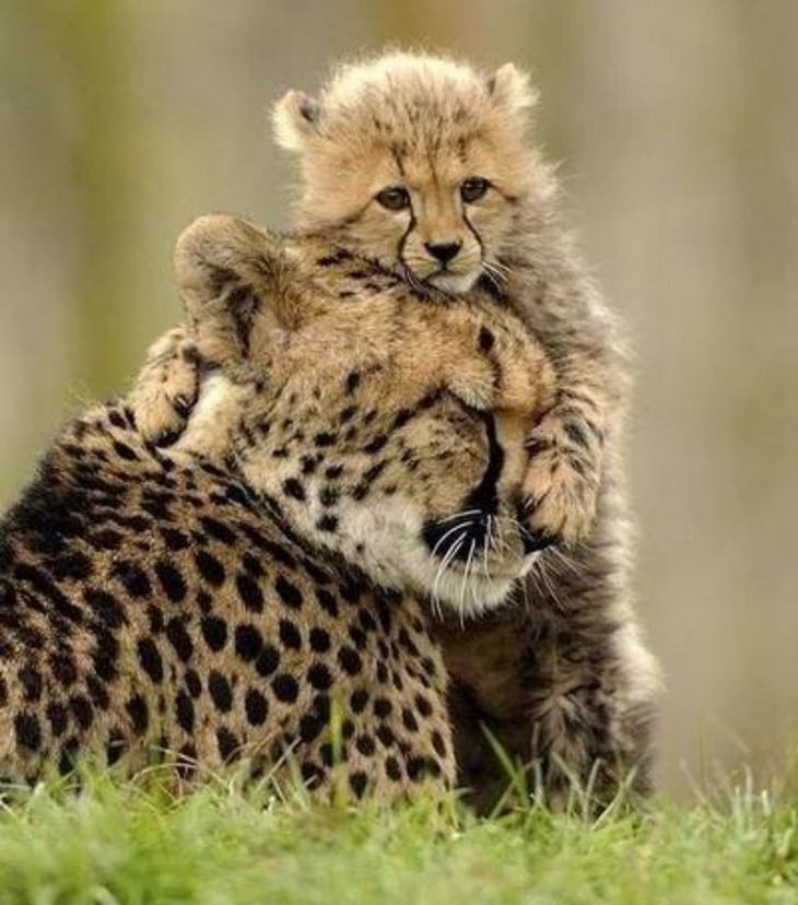funny annoyed animals: baby cheetah covers mother's head
