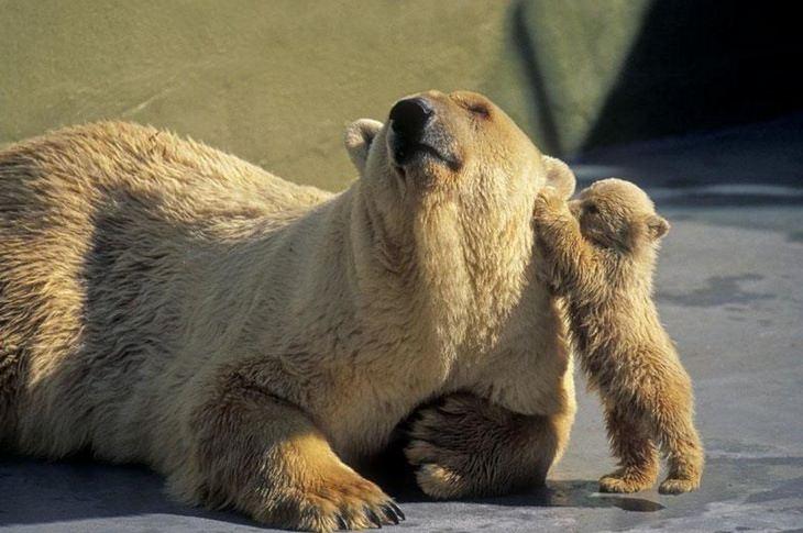 funny annoyed animals: bear cub touches adult bear's ear