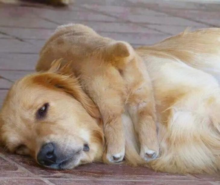 funny annoyed animals: labrador puppy sleeps on mother's head
