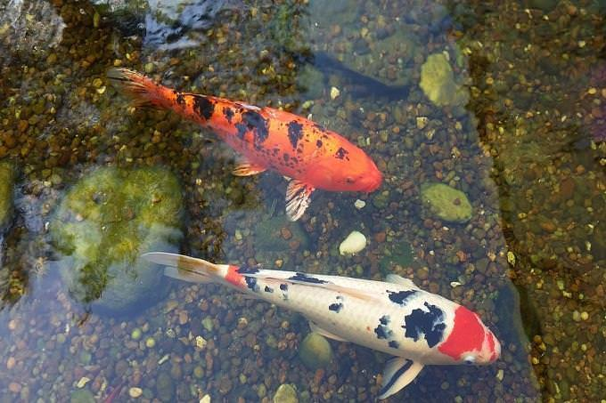 Personality test: Koi fish in a pond