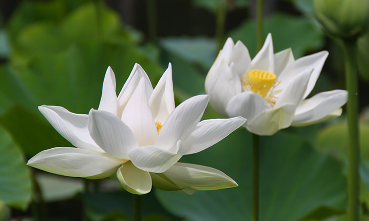 Lotus Flower Everything You Need To Know Nature Babamail