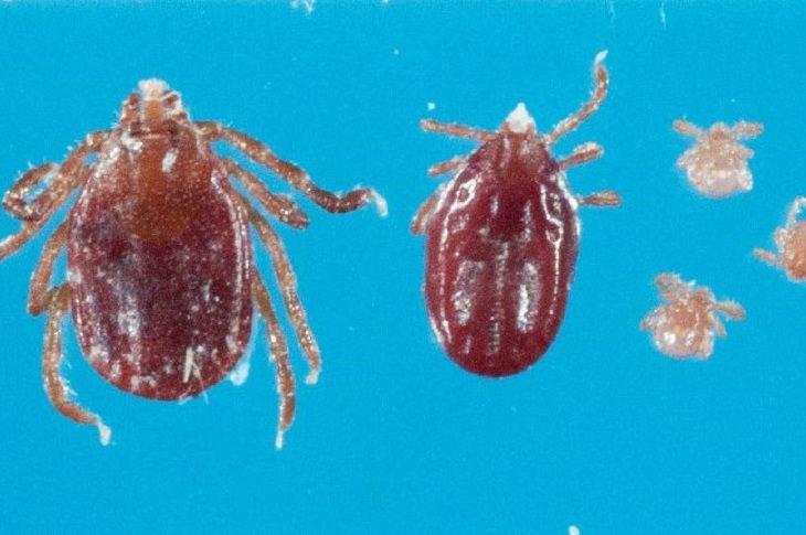 New Species of Tick