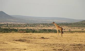 A giraffe in the savannah