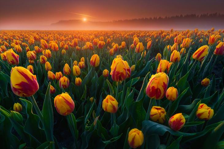 Stunning Tulip Photographs