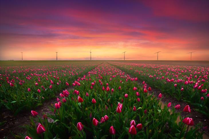Stunning Tulip Photographs