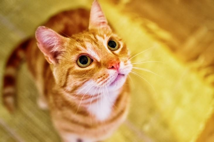 top facts about cats - ginger cat looking very cute and friendly