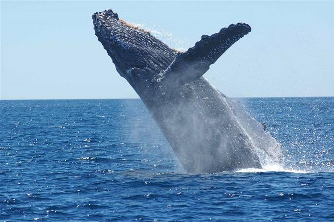 Una ballena saltando fuera del agua