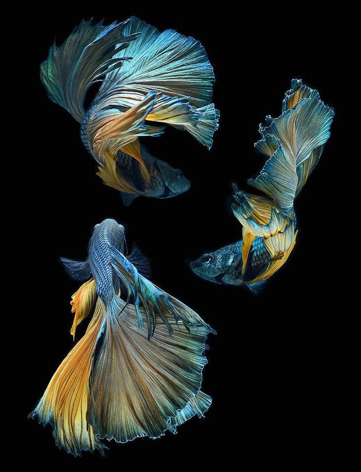 Visarute Angkatavanich  Siamese Fighting Fish