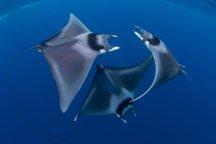 ocean photos competition Devil Ray Ballet