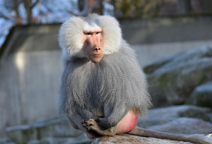 a male baboon