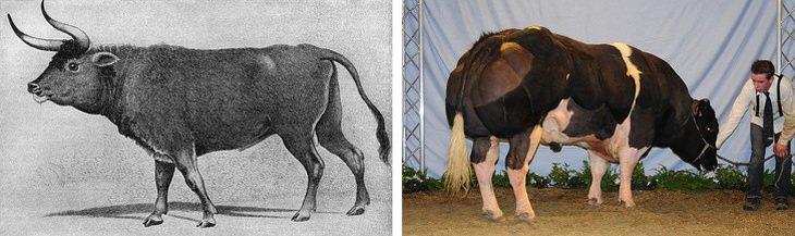 Aurochs vs cows