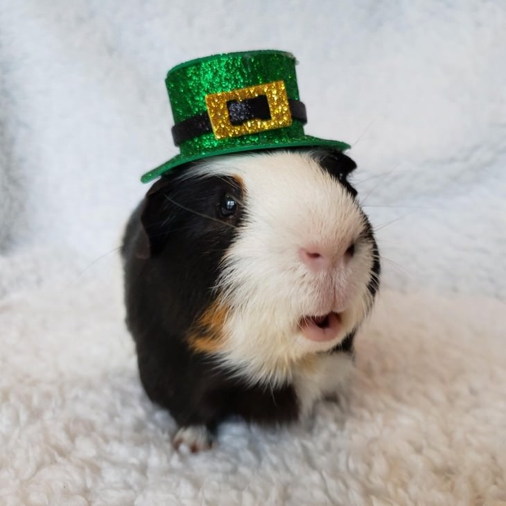 Photos of Pets Wearing the Cute Costumes guinea pig leprechaun