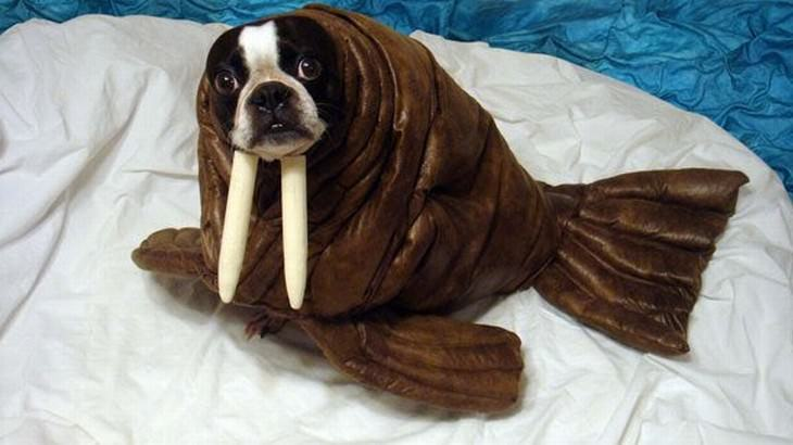 Photos of Pets Wearing the Cute Costumes walrus dog