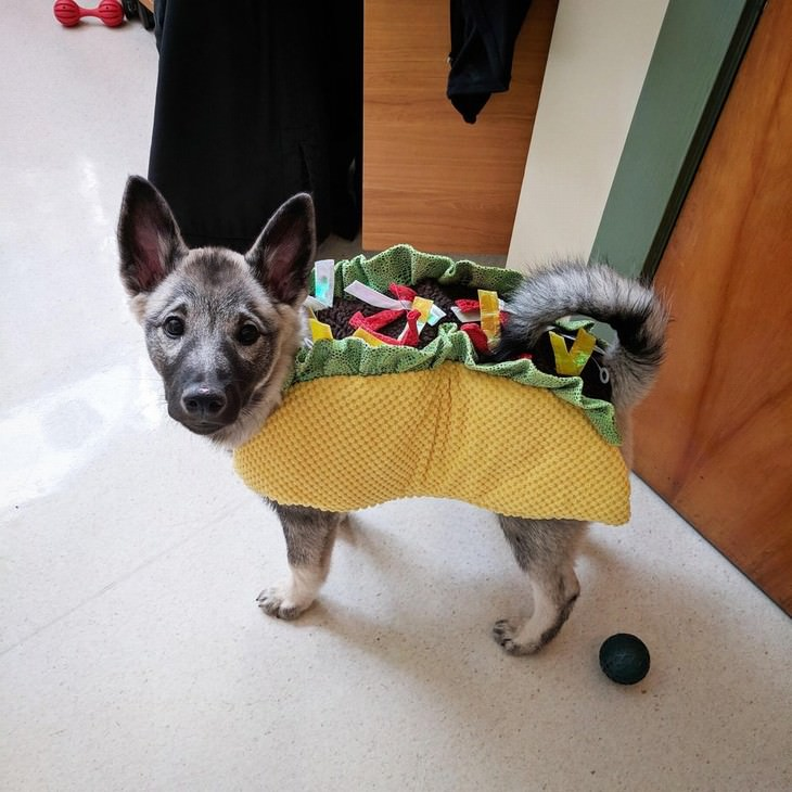 Photos of Pets Wearing the Cute Costumes taco puppy