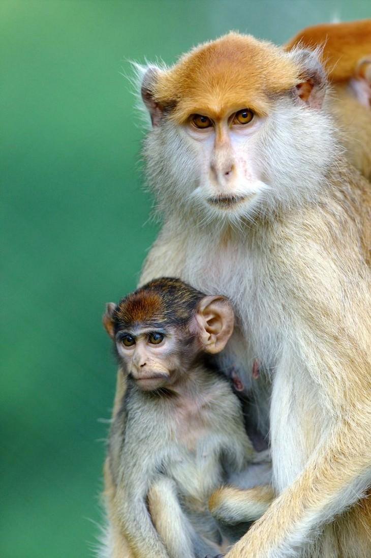 animals showing affection golden monkeys