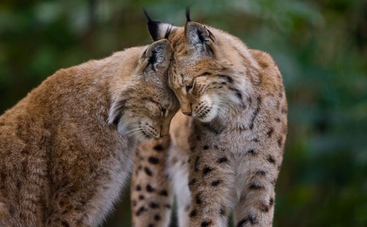 animals showing affection wild cats