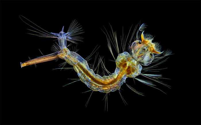 Nikon Small World 2019 Competition winner A Mosquito Larva