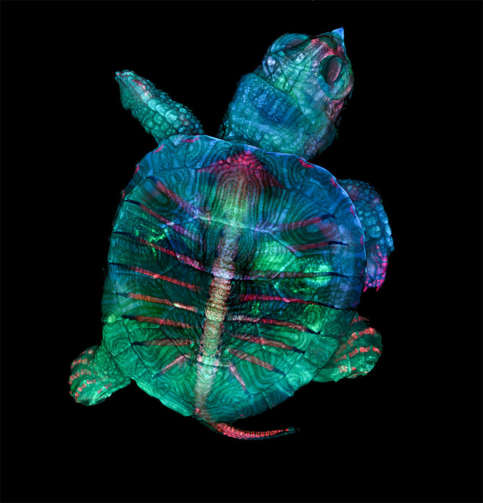 Nikon Small World 2019 Competition winner Turtle Embryo in Fluorescent Color