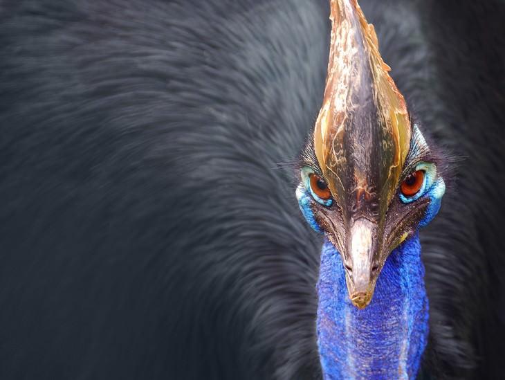 deadliest animals on Earth Cassowary