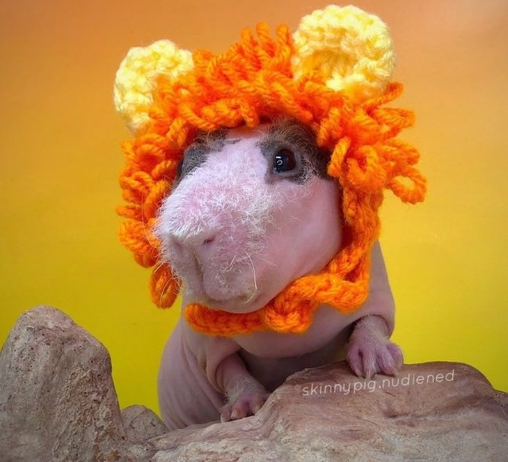 Pets in Winter Attire guinea pig wearing a knitted lion hat