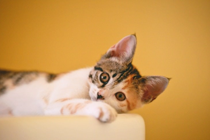 cat care tips calico kitten on a yellow background